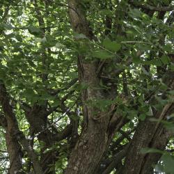 N°23 : cornouiller mâle, classé Arbre remarquable