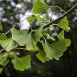 N°10 : arbre aux quarante écus (Ginkgo Biloba)
