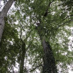 N°22 : robinier faux acacia