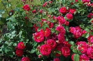 Rose Désirée Clary (Masdecla)
