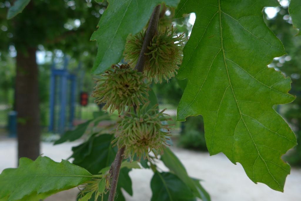 N°3 : chêne chevelu - Quercus Cerris Fagaceae (light)
