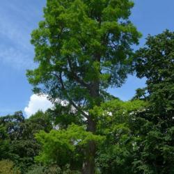 N°1 : cyprès chauve au printemps - Taxodium distichum Taxodiaceae