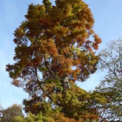 N°1 : cyprès chauve à l'automne - Taxodium distichum Taxodiaceae