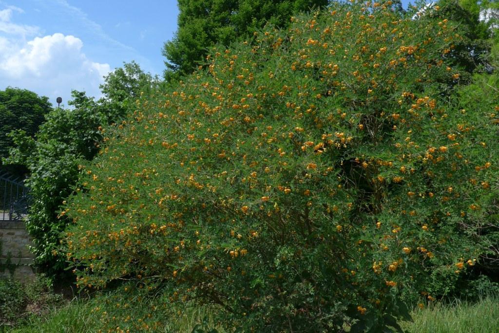 Baguenaudier - Colutea arborescens fabaceae