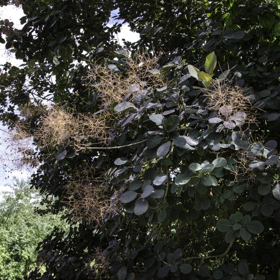 N°34 : arbre à perruques