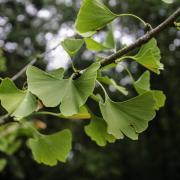 Quel est l'autre nom de l'arbre aux 40 écus ?