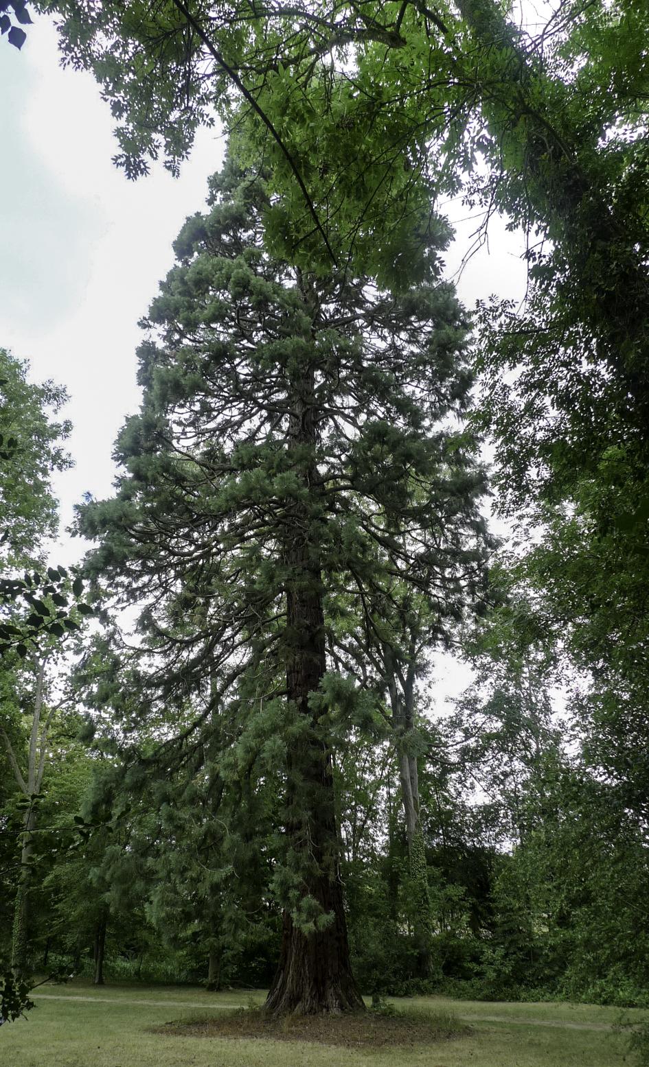 N° 11 : séquoia géant