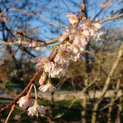 Ceriser d'hiver Prunus subhirtella Rosaceae