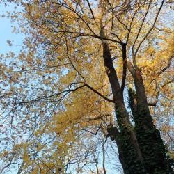 Cormier Sorbus domestica Rosaceae