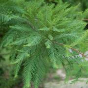 A quelle saison le cyprès chauve perd-il ses feuilles ?