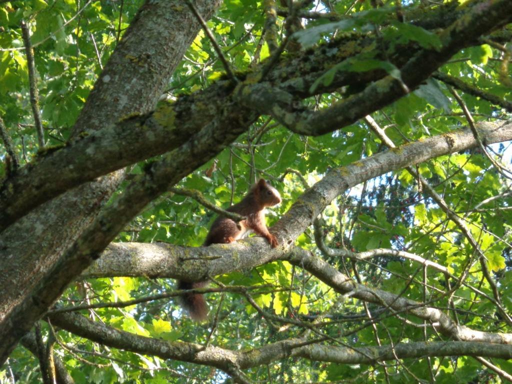 Ecureuil roux dans le parc du château