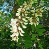 Quel est le vrai nom du faux acacia