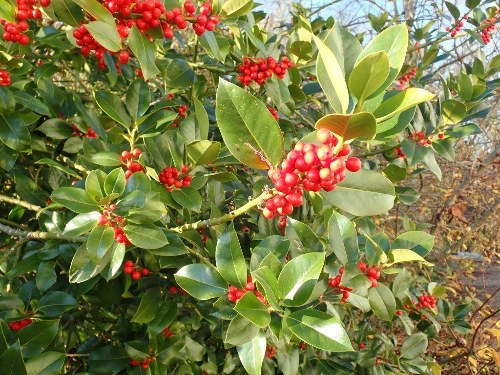 Houx commun Ilex  aquifolium Aquifoliaceae
