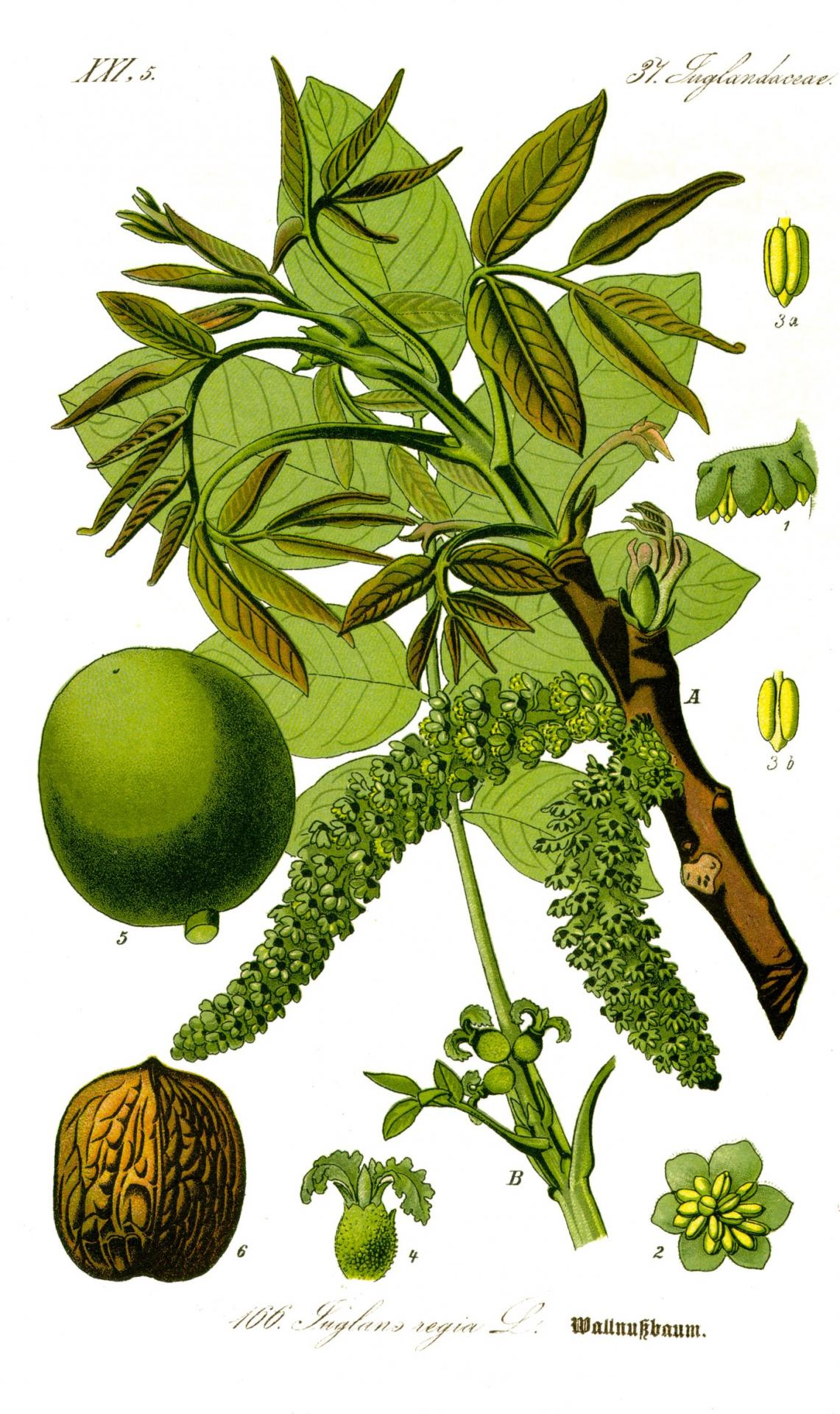 Illustration juglans regia