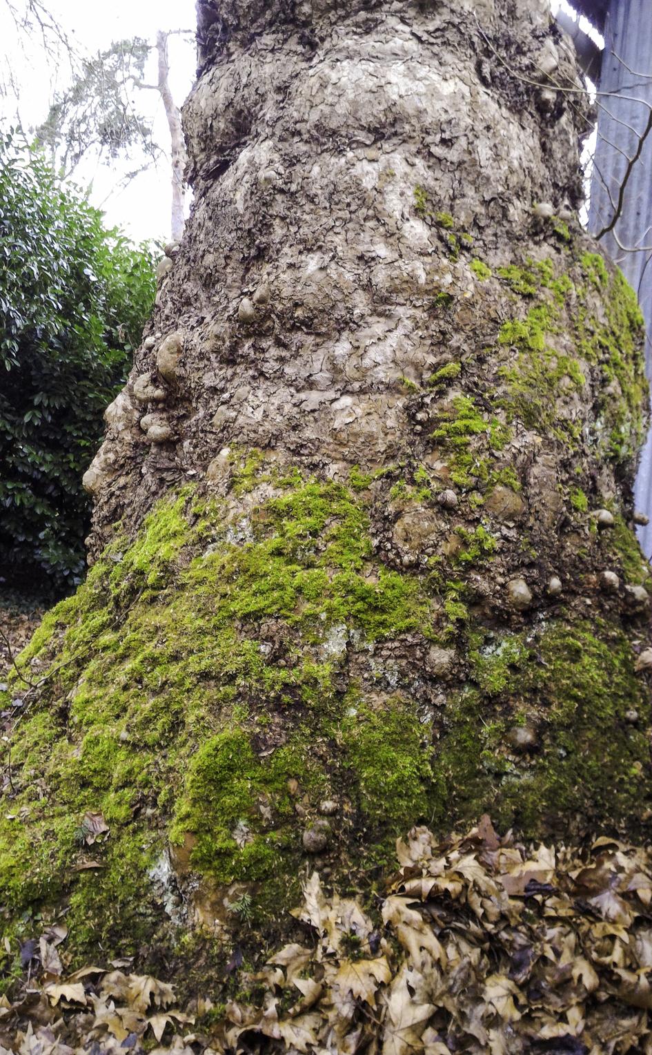 N° 9 : platane à pied d'éléphant, classé Arbre remarquable