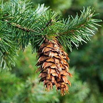 Complétez le nom de l'arbre appelé