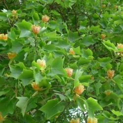 N°40 : tulipier de Virginie - Liriodendron tulipifera Magnoliaceae
