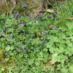 Violettes communes